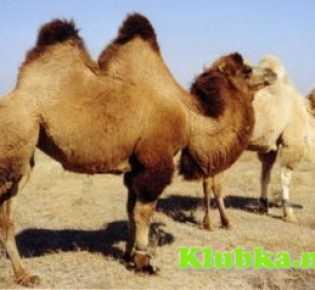 Удивительные качества верблюжьей шерсти